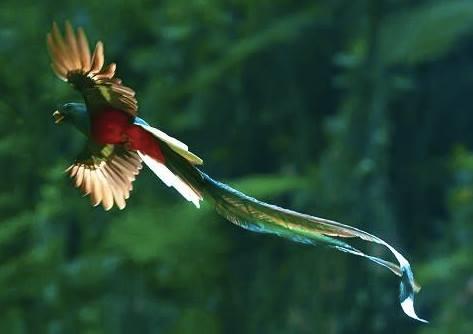 火の鳥ケツァール Quetzal, the Phoenix