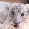 ライオン赤ちゃん一般公開スタート!の画像