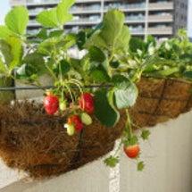イチゴの植え付け♪