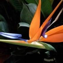 レギネの花