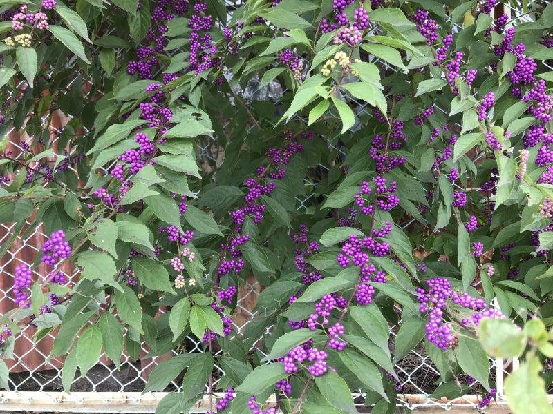 紫式部 植物 白