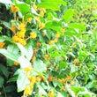 金木犀の花咲く頃