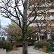 アメリカ楓の木。