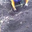 山芋掘り *~