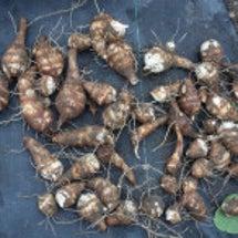 海老芋の収穫と発芽野…