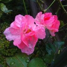 雨の濡れた薔薇。イン…