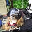 バイク犬、ティナの旅…