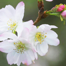10月  桜 いつも…