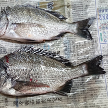 徳島県釣連盟 『チヌ…