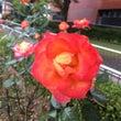 雨の中の薔薇・コスモ…