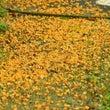 秋の長雨―金木犀が散…
