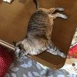 シャム猫さんたち《机…