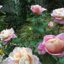 雨がやんで 咲くバラ