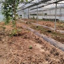 メロン畑の撤収作業