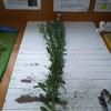 やまじ野菊の調整と出荷箱つくり方の画像