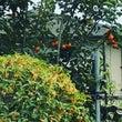 キンモクセイと柿。