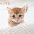 茶トラ子猫 かぼ君 …