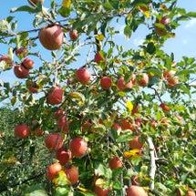 ふじ林檎収穫できそう…