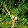 木に登るネコ