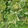 秋冬野菜の生育状況