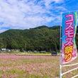 岡部町のコスモス畑2…