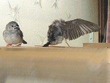 お兄ちゃんの羽は立派に大人です。