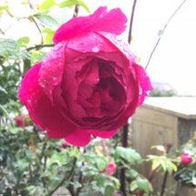 赤いバラと日比谷公園…