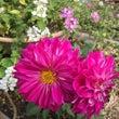 ダリアの花で、庭が華…