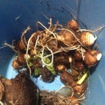 里芋を収穫してみまし…