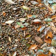 秋の箱根はドングリい…