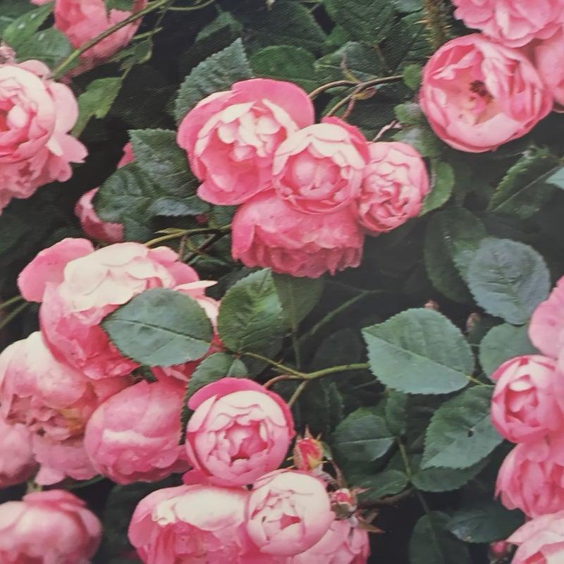 お薦めのバラ(コロコロ・カップ咲き)