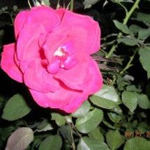 台風続きの薔薇