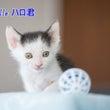 白黒子猫 ハロ君 里…