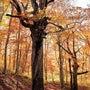 ブナの森 黄葉