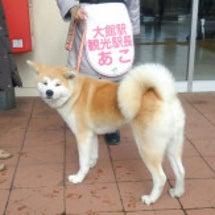 秋田犬です