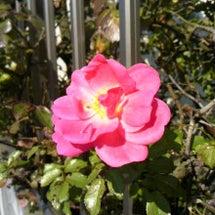 薔薇が咲いてる