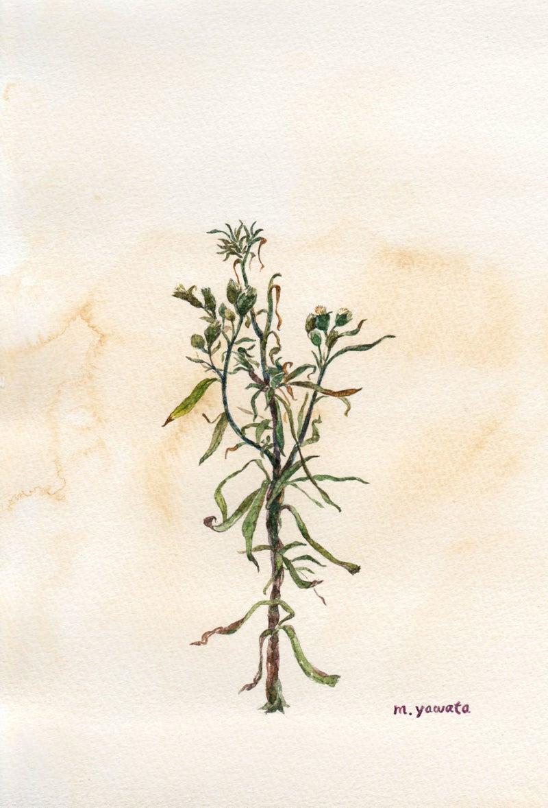 イラスト○花・植物|水彩イラスト*やわたまゆみ illust blog