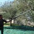 チレントのオリーブ畑…