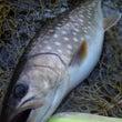 湿原河川 釣果報告