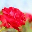 秋薔薇実はバラが大ー…