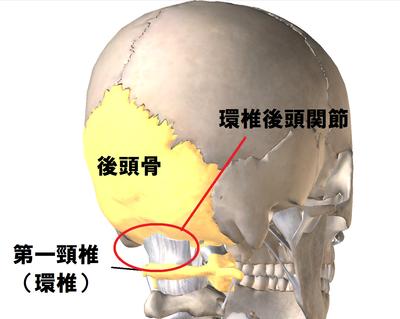 「後頭骨と環椎」の画像検索結果