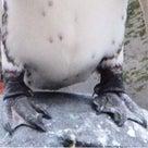 ペンギンの足はなぜ凍傷にならない?の記事より