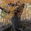 古木を飾る