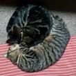 双子の猫 ルナとモコ…
