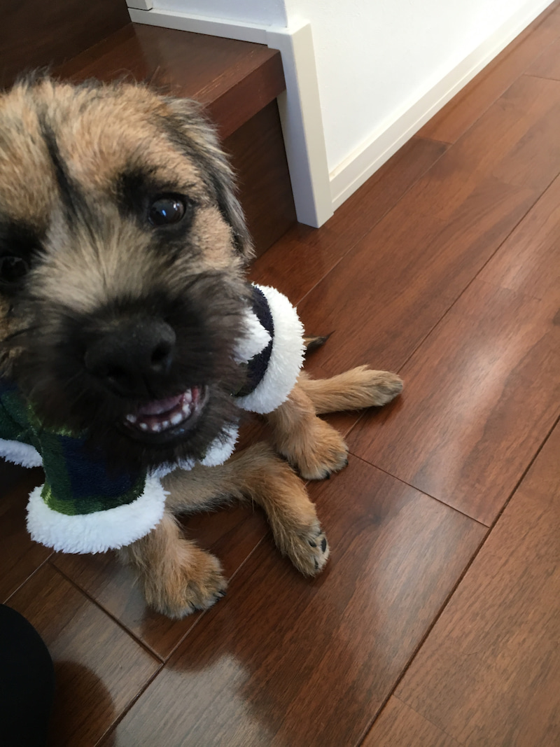 Image result for border terrier 犬  歯