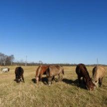 馬たちを放牧
