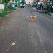 犬の散歩@バリ島