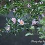 山茶花が咲いている