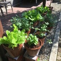 我が家の葉野菜を紹介…