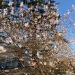 桜♪ 桜♪